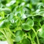 Những lợi ích tuyệt vời của rau mầm